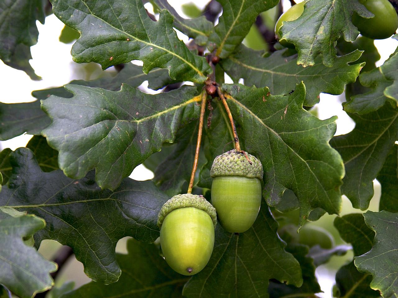 Planches annotées et illustrées des PLANTES TOXIQUES. Acorn-leaf-oak4